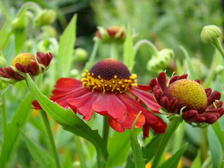 Villaleigh Plants Online Perennial Plant Nursery Villaleigh Plants