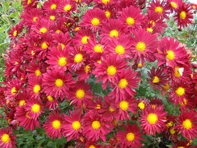 Chrysanthemum Maroon-red