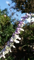 Salvia leucantha Light Purple