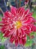 Chrysanthemum Red Flare