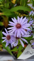 "Aster ""Little Carlow"""