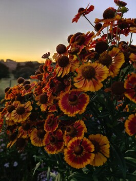Helenium autumnale Red and Gold