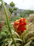 Geum chiloense Blazing Sunset