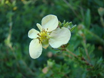 Potentilla fruticosa 'Peaches and Cream'